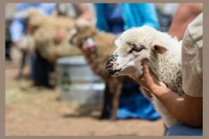 sheep is life grantee 400x65